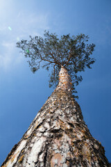 Wall Murals Low angle view of pine tree over clear blue sky