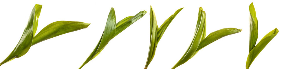 Poster de jardin Muguet de mai green lily of the valley leaves on a white background. set, collection