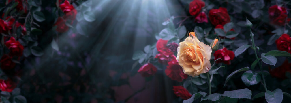 Blooming yellow and red rose flowers and moon light rays in mystical garden on mysterious fairy tale summer floral background, fantasy nature dreamy landscape toned in low key, dark tones and shades