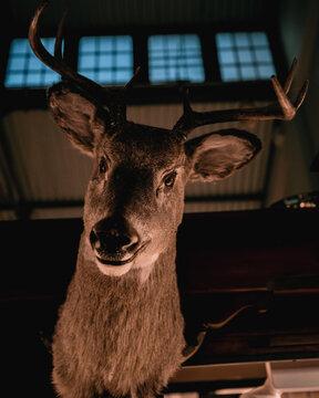 Deer specimen
