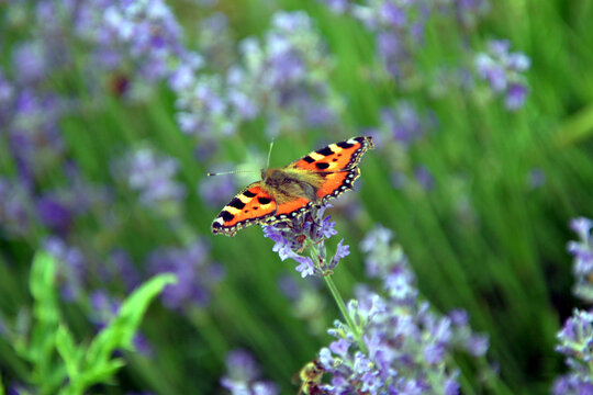 small tortoiseshell (aglais urticae) in a field of lavender