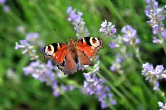 peacock butterfly (aglaisio) in a field of lavender
