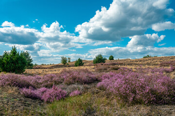 Scenic panorama of a german heather landscape in autumn with purple flowering erica plants at former military training area near Jueterbog