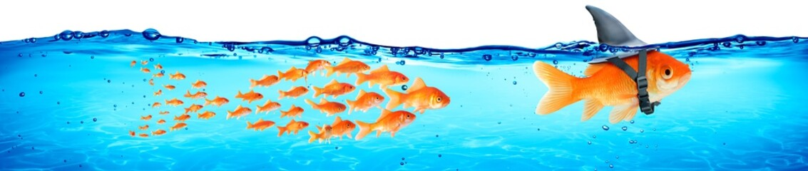 Business - Teamwork And Leadership Concept - Goldfish With Shark Fin And Followers