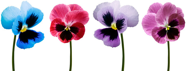 Set pansy flowers blue, purple, red, violet on white isolated background with clipping path. Closeup. Nature.