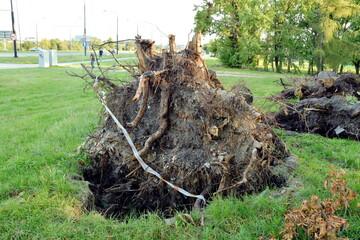 Fototapeta Wielki korzeń powalonego drzewa przez wiatr obraz
