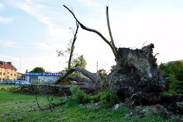 Fototapeta korzeń powalonego drzewa przez wiatr obraz