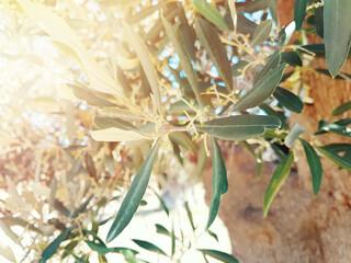 Olive Tree leaves on sunset