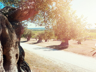 Old Olive Trees on sunset