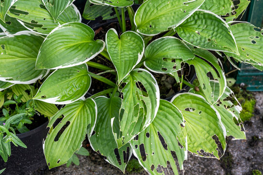 Hosta plant also known as plantain lily with snail and slug damage which is a spring summer flower herbaceous perennial stock photo image