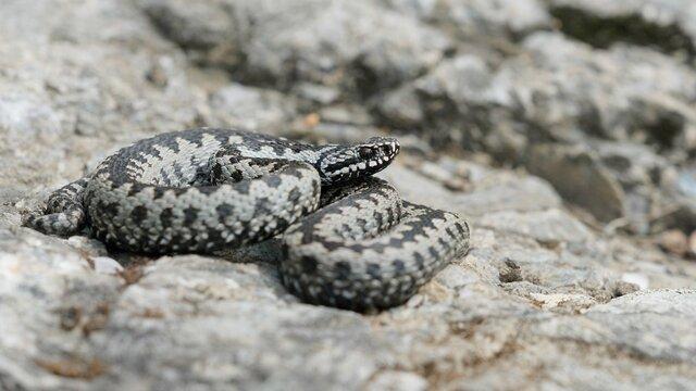Venomous adder viper snake (Vipera berus) attack and bite