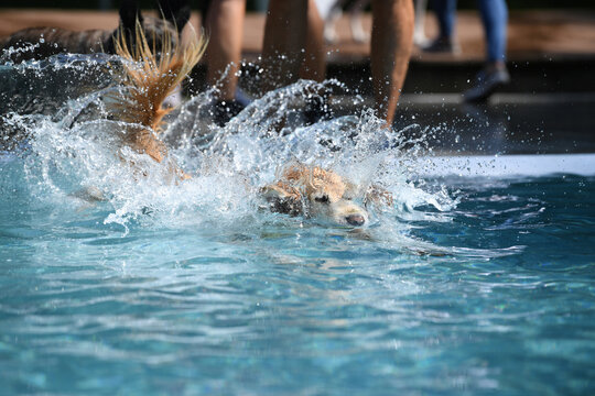 A dog jumps into the water during a dog swim day at an open-air pool in Munich