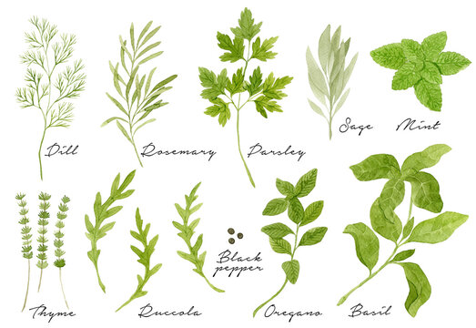 Watercolor culinary herbs collection isolated on white background. Dill, rosemary, parsley, thyme, arugula, black pepper, oregano, basil.