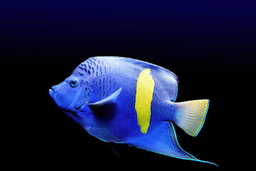Isolated on black background , blue with bright yellow band colored coral fish with long fins, native to Red sea. Halfmoon angelfish, Pomacanthus maculosus, saltwater aquarium fish.