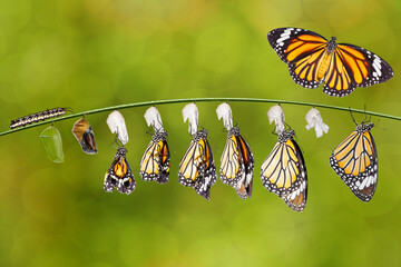 Transformation of common tiger butterfly ( Danaus genutia ) and pupa
