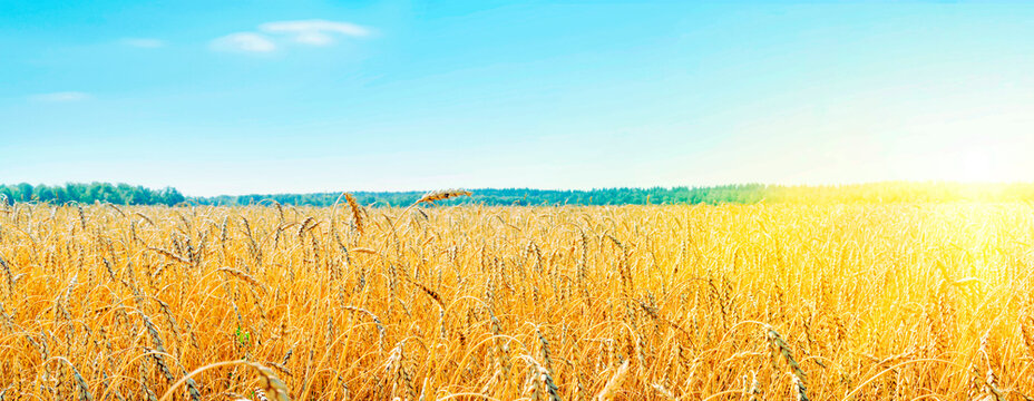 Cultivation of cereals. Beautiful rural landscape with yellow plants and blue sky. Wheat in field. Agriculture in the Altai region in Russia. Rich harvest Concept. panoramic picture.