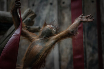 Baby orangutan reaching for another rope