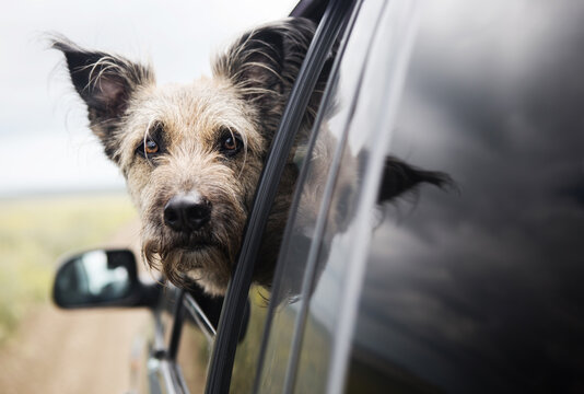 The traveler dog looks out the window of the car.She is fluffy and happy.