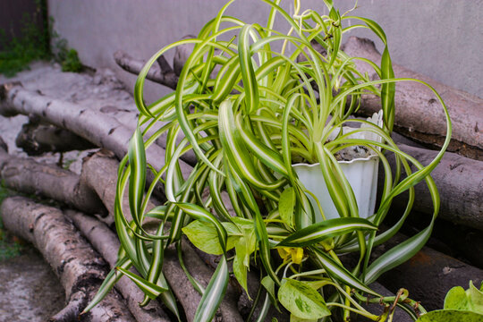 chlorophytum comosum, spider plant and a branch of scindapsus on woods