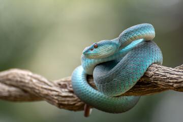 Trimeurus insularis blue is a venomous snake from indonesia