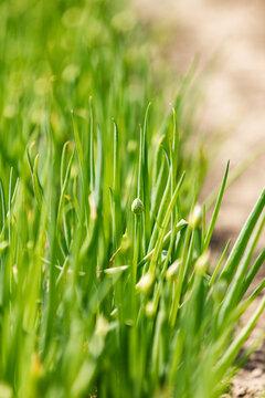 Farm: Green Onion Seed Pod