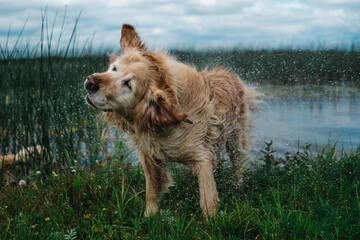 Soaking Golden Retriever Dog Coming Out from the Water after Swimming and Shaking is Fur from the Wet.