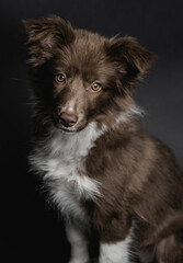 Little border collie puppy portrait