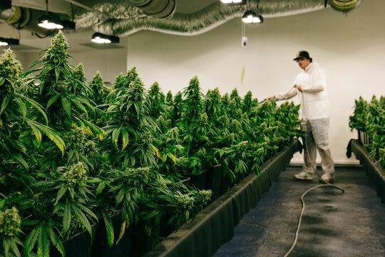 Growing Indoor Cannabis