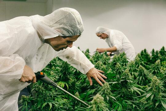 Caucasian Men Watering Indoor Cannabis Plants