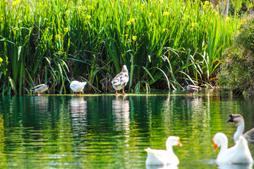 swans on the lake with yellow flowers and lush green leaves on the banks of the lake at Kenneth Hahn Park in Los Angeles California