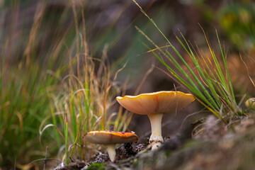 amanita muscaria, fly agaric or fly amanita basidiomycota muscimol mushroom
