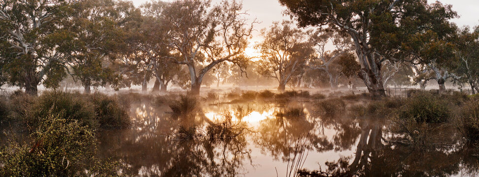Dawn sunshine breaking through morning fog and gum trees in a swamp
