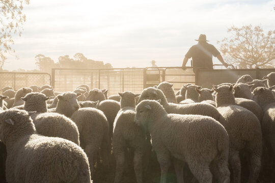 Stockman in dusty sheep yards with lambs