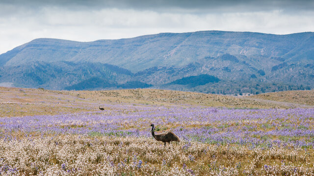 Landscape of the Flinders Ranges with wild flowers and emu