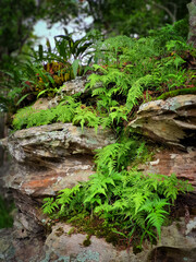 Beautiful ferns on the rock in the forest.