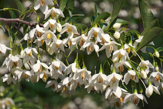 Snowcone japanese snowbell (Styrax japonicus 'Snowcone')
