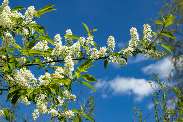 Beautiful white flowers of blooming bird cherry in spring.