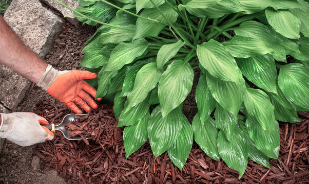 Closeup man wearing gardening gloves spreading brown bark mulch around hosta plant in garden with spade, hostas, landscaping, decorative, shade plant, planting, close-up, yard, lawn, moisture