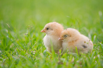 Two baby chicken in the grass