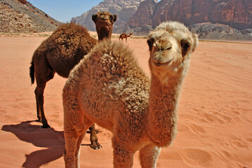 Baby camels in the desert