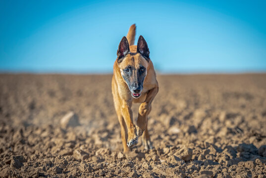 Adult belgian shepherd malinois with gray muzzle in the sand