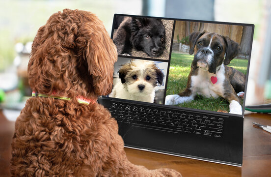 Back view of dog talking to dog friends in video conference. Group of dogs having an online meeting in video call using a laptop. Blurred and de-focused office background. Pets pretending to be human.