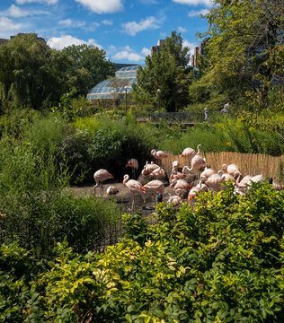 graceful, pink flamingos at Lincoln Park Zoo in Chicago, Illinois