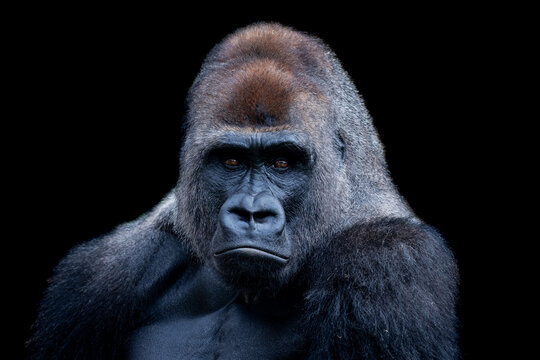 Portrait of silverback gorilla with black background