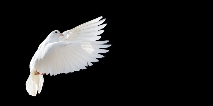 white dove flying isolated on black