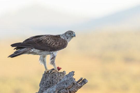 Aguia-de-bonelli, Bonelli eagle (Aquila fasciata) San Vicente de Alcantara, Spain - 2017.07.01