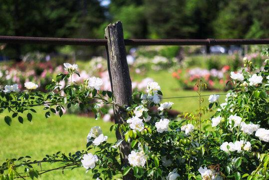 Elizabeth Park West Harford Connecticut Rose Garden