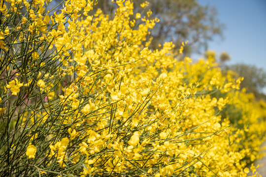 The stems of rush broom with yellow flowers in the spring (Mount Etna)
