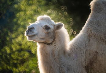 Bactrian camel (Camelus bactrianus), a large, even-toed ungulate native to the steppes of Central Asia. It has two humps on its back, in contrast to the single-humped dromedary camel