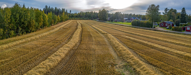 Aerial drone panorama just harvested small wheat field, crops have been recently gathered. Pine tree forest on left, red wooden summer cabins and houses on right side of field,Sweden. Straw rows